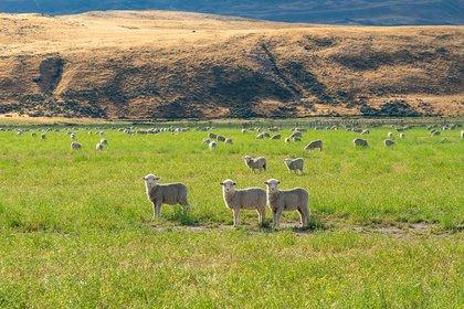 Sheep-tekapo.jpg