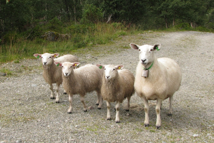 sheeps_0.png